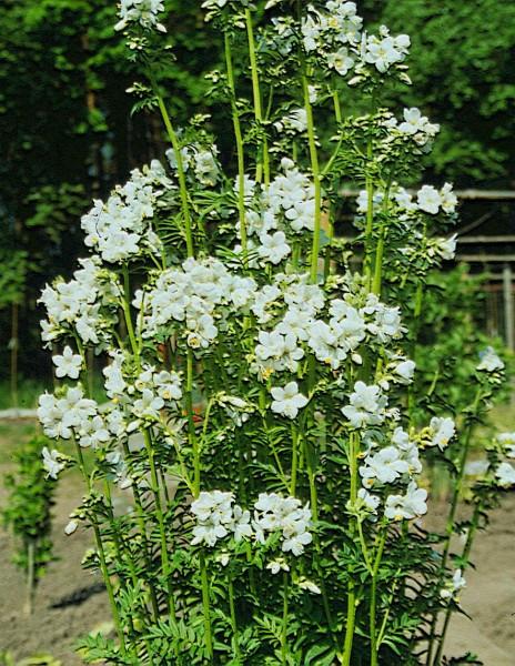 Jakobsleiter, weißblühend (Polemonium coeruleum var. alba)