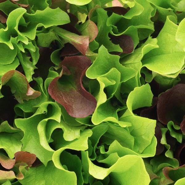 Salat Mix Pfücksalate