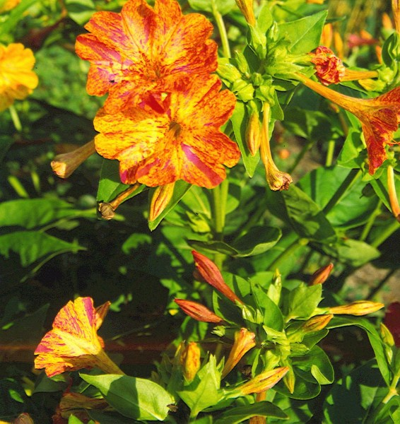Wunderblume (Mirabilis jalapa)