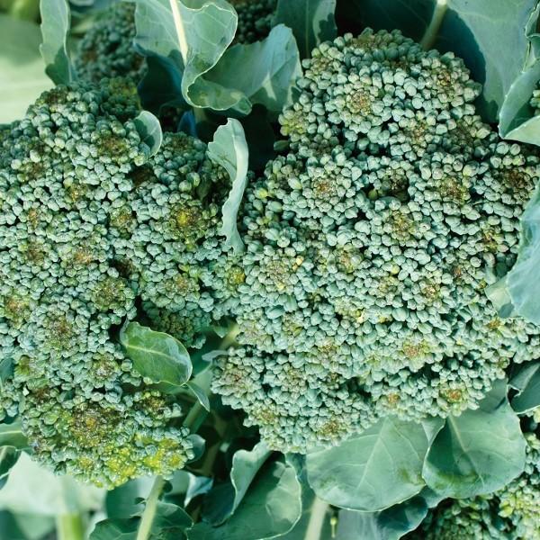 Brokkoli De Cicco